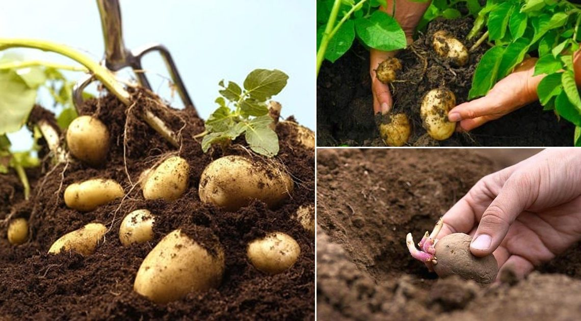 Reasons to grow potatoes at home backyard